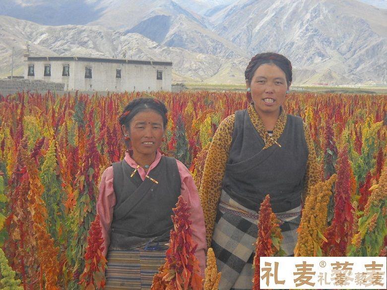 """粮食安全下的""""净红""""藜麦:它有潜力成为一种新的主食"""